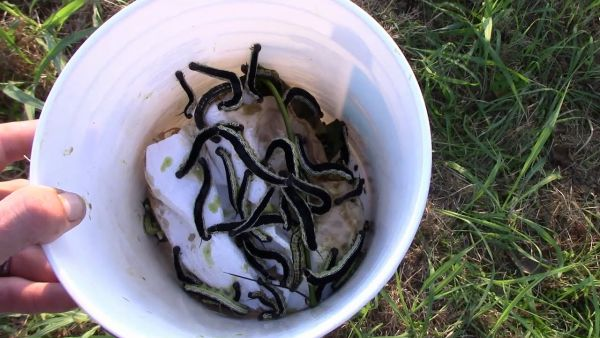 A white bucket filled with Catalpa worms for catching catfish