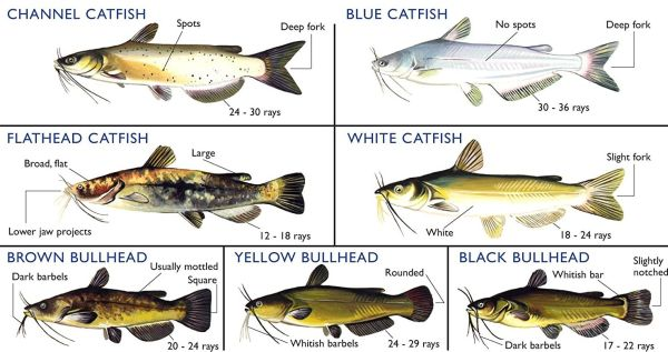A card showing different types of catfish